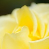 薄い黄色いバラ