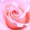 ベビーピンクのバラ