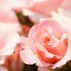 薄いサーモンピンクのバラ