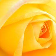 薔薇 カロリーヌドゥモナコ