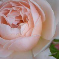 薔薇 セントセシリア