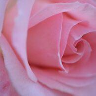 薔薇 ブライダルピンク