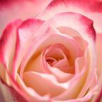 薔薇 ジュビレデゥプリンスドゥモナコ