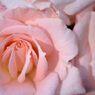 薔薇 優花
