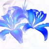 二輪のBlue lily