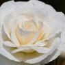 春薔薇の思い出02