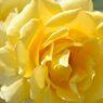 春薔薇の思い出03 インカ