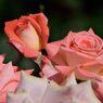 春薔薇の思い出04