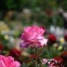 春薔薇の思い出05