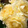 春薔薇の思い出06 ハニーブーケ