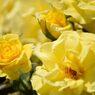 春薔薇の思い出07 フリージア