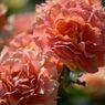 春薔薇の思い出08 ブラスバンド