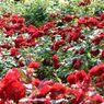 春薔薇の思い出09 赤い薔薇たち