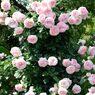 春薔薇の思い出10 ピンクの薔薇タワー