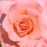 春薔薇の思い出11