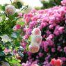 春薔薇の思い出12