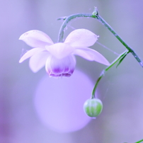 夏の花 ~レンゲショウマ