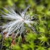 フワフワ種の水玉くん