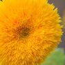 向日葵 サンゴールド