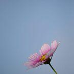 秋桜 日の丸 3