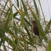 河川敷の小鳥さん