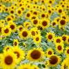 Flowers of Kyushu