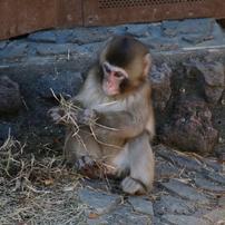 東山動植物園のニホンザル