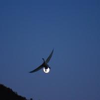月に白鳥(新春夕暮れシリーズ)