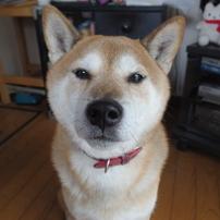 柴犬ふくちゃん!