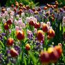 咲き誇るアイスチューリップたち