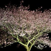 みなみの夜桜 ④