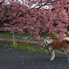 みなさあん・・桜が満開ですよお!