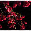 寒緋桜(カンヒザクラ) 小江戸川越68