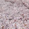 桜のうみ1