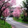 台北櫻木花道