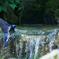 オオルリ水浴び(2)803
