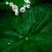 咲き始めの山荷葉(サンカヨウ)