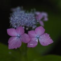 山紫陽花 花姿