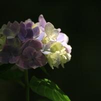 奈良の紫陽花