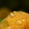 オレンジドロップス