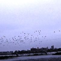 鵜鷺追いし多摩川 8月14日