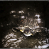 「雨の日の亀くん」 小江戸川越散歩90