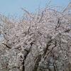しだれ桜-2