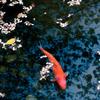 桜の下の池