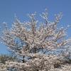 冨士山(とみすやま)公園の桜-5