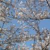 冨士山(とみすやま)公園の桜-6
