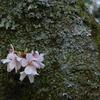 冨士山(とみすやま)公園の桜-8