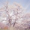 桜2010 二宮 吾妻山
