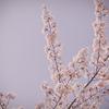 桜のキヲク_04
