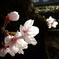 胴吹きの桜